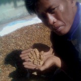 Indonesian_farmer_shows_coffee_beans_already_digested_by_Asian_Palm_Civet,_but_before_cleaning_and_roasting