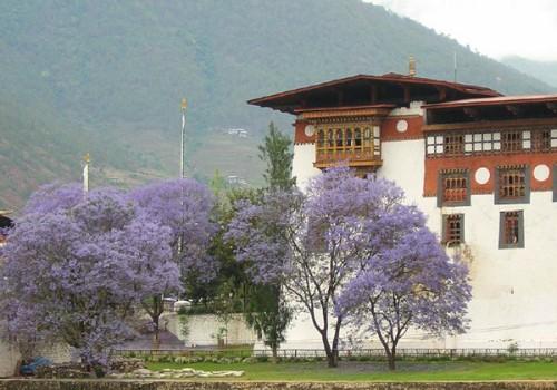 Jacaranda_bhutan