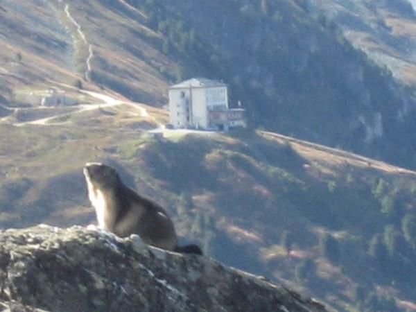 Marmot_in_Swiss_Alps