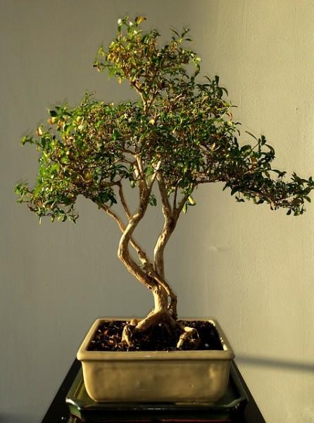 bonsai-514906_640
