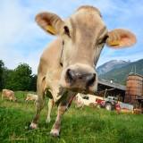 cow-325019_640