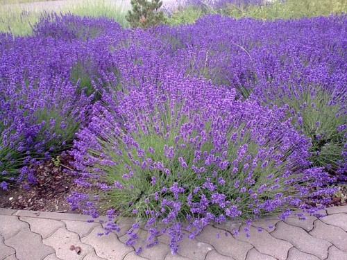 lavender-403222_640