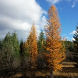 tamarack-trees-Idaho