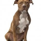 dog, breed, animal, pet