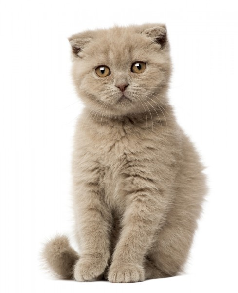 Most Expensive Cat Breeds in the World