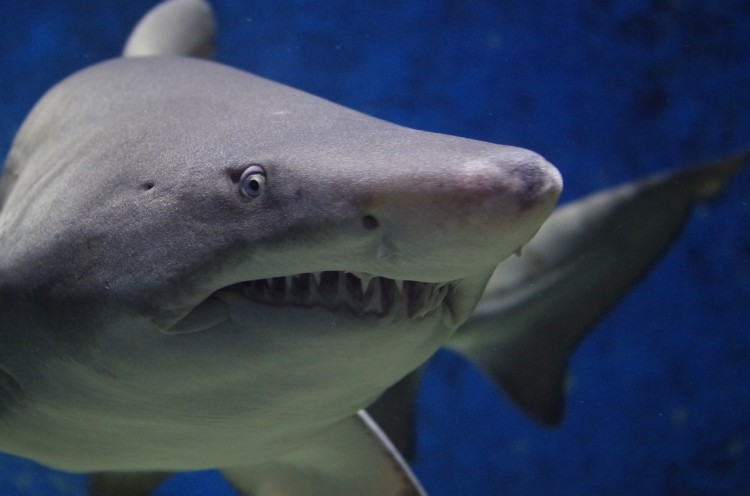 Animals That Killed The Most People in The World - Sharks