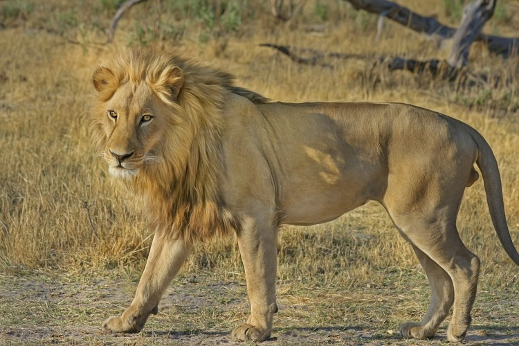 Animals That Killed The Most People in The World - Lions