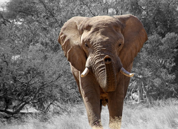 Animals That Killed The Most People in The World - Elephants
