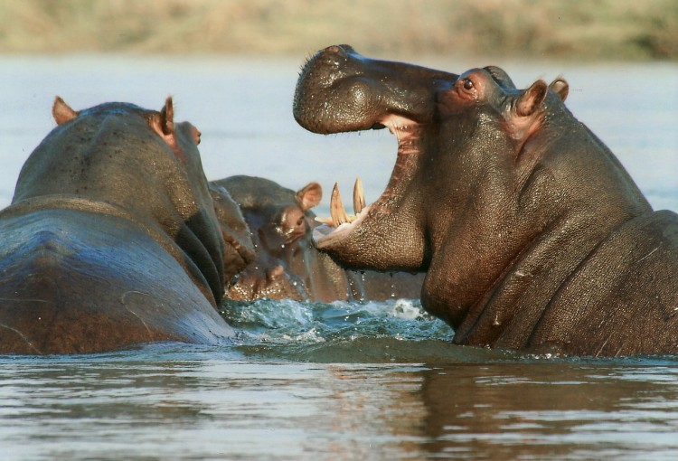 Animals That Killed The Most People in The World - Hippos