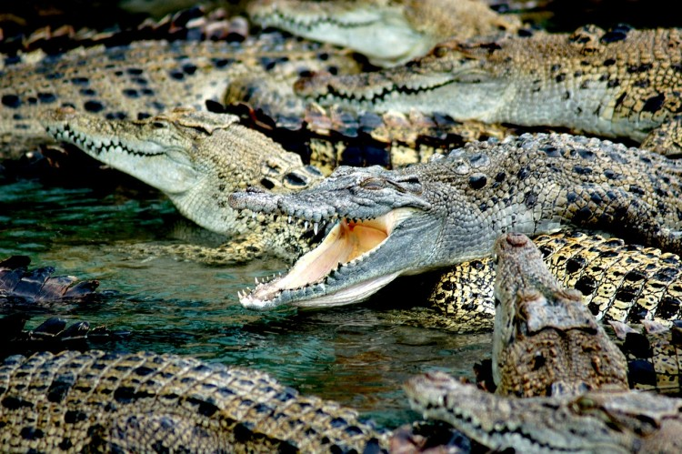 Animals That Killed The Most People in The World - Crocodiles