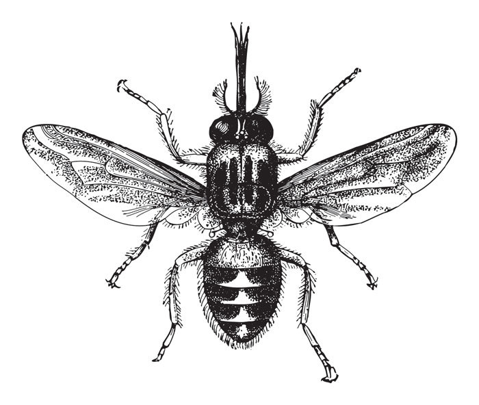 Animals That Killed The Most People in The World - Tsetse Flies