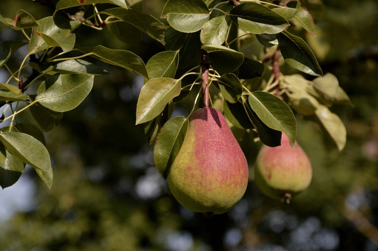 Most Consumed Fruits in the US - Pears
