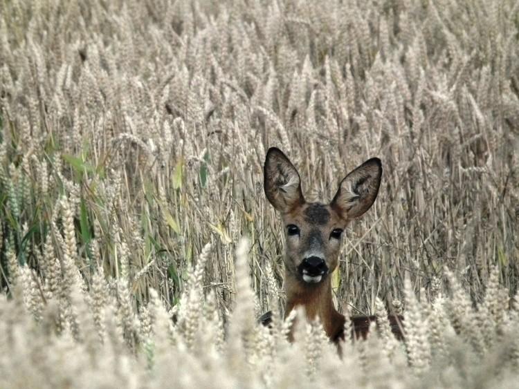 roe-deer-851484_1280