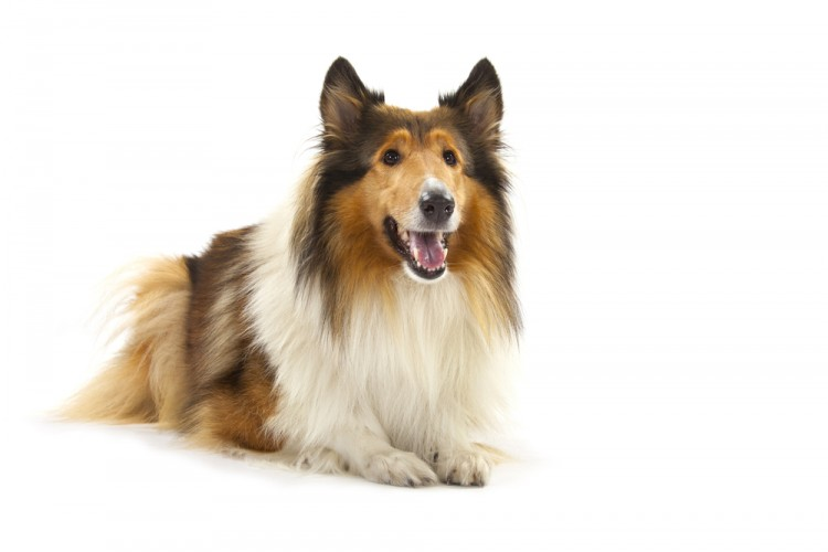 dog, breed, animal, friend, loyal, love,
