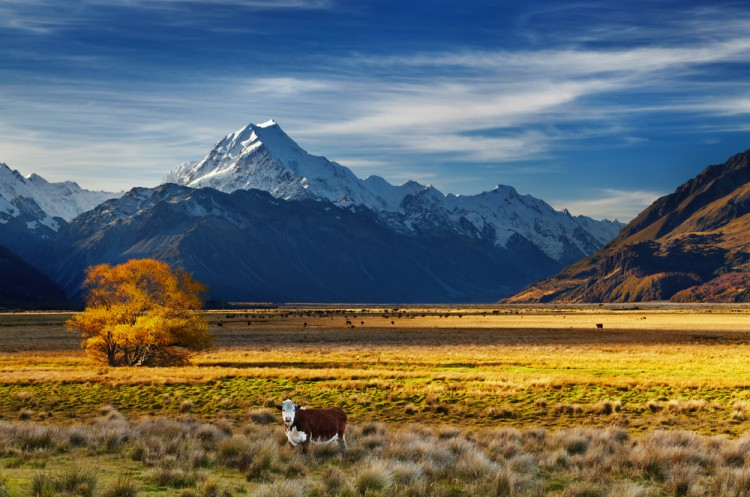 new, zealand, farm, cow, ranch, mount, southern, cook, sunset, meadow, tree, autumn, travel, view, yellow, scenery, grass, spectacular, alps, aoraki, range, pasture, 11 Places with the Most Moderate Climate in the World