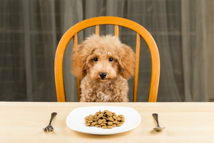 eat, dog, pet, bowl, food, nutritional, dish, chair, table, plate, mammal, uninterested, diet, brown, poodle, spoon, kibbles, seated, cute, beige, dinner, small, skinny, young,