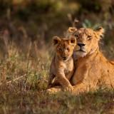 lion, kenya, cubs, cub, safari, lioness, africa, animals, animal, serengeti, east, pride, savanna, king, wild, black, african, leader, natural, park, national, mammal, pair,