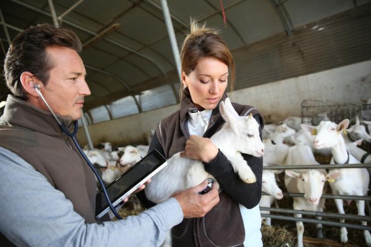 animal, veterinarian, health, farmer, goat, care, agriculture, examination, breeder, people, vet, barn, breeding, woman, illness, observation, man, doctor, carrying,