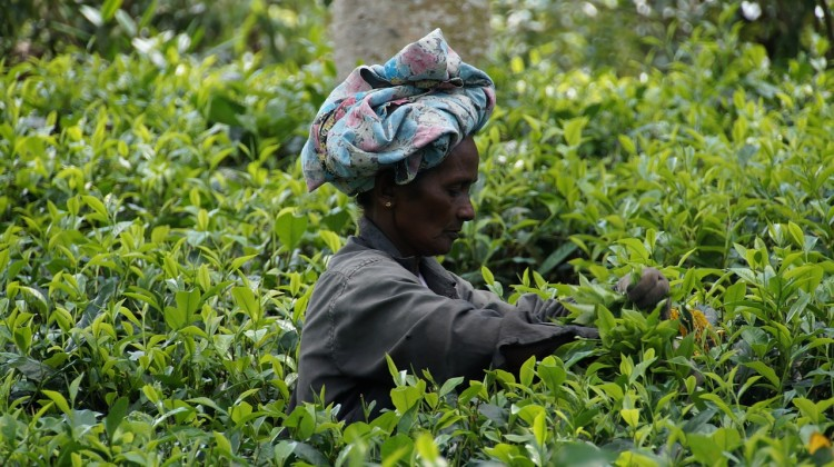 Countries that Produce the Most Tea in the World