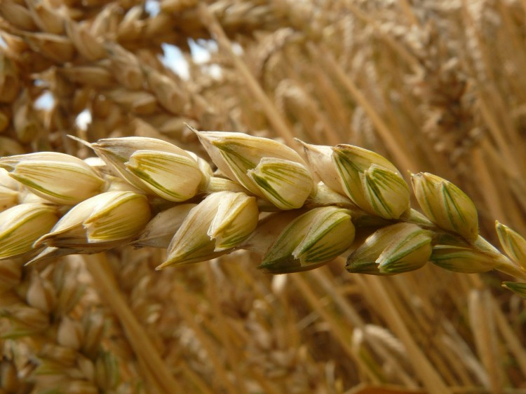 Countries that Produce the Most Wheat in the World