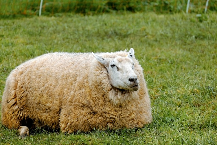 Countries that Produce the Most Sheep's Wool in the World