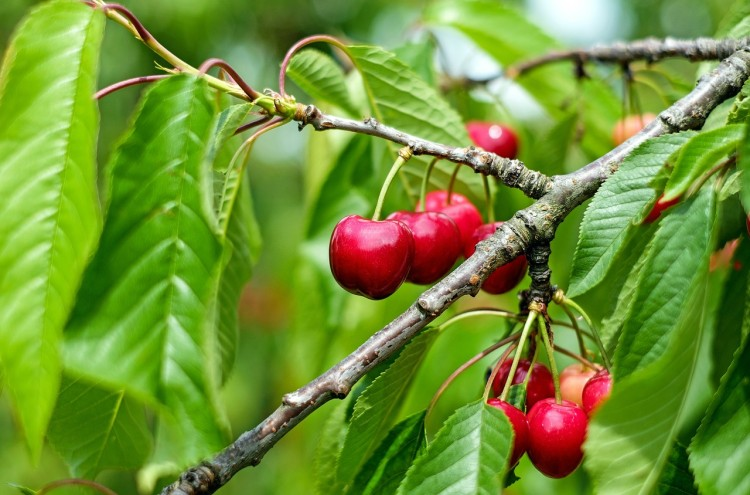 7 Easiest Dwarf Fruit Trees To Grow in Containers or Mini Garden