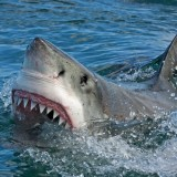 11 Most Aggressive Sharks In The World