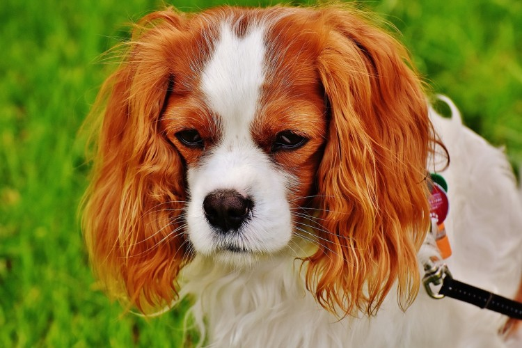 Emotional Support Dog Breeds For Anxiety