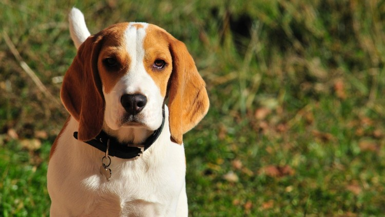 11 Best Emotional Support Dog Breeds For Anxiety