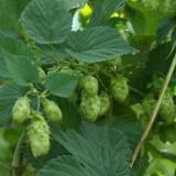 hops-171981_1280