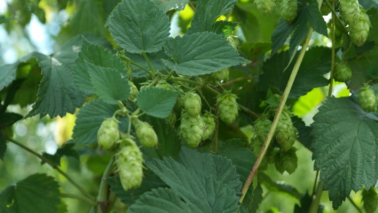 10 Biggest Hop Producing Countries In The World