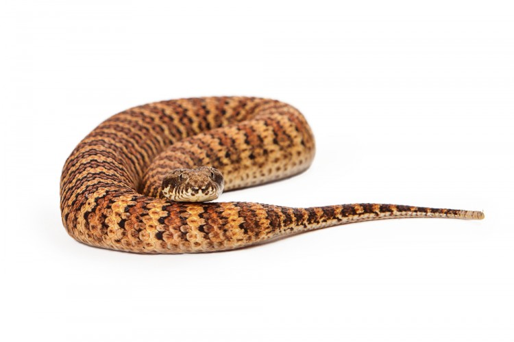 11 Most Venomous Snakes in Australia