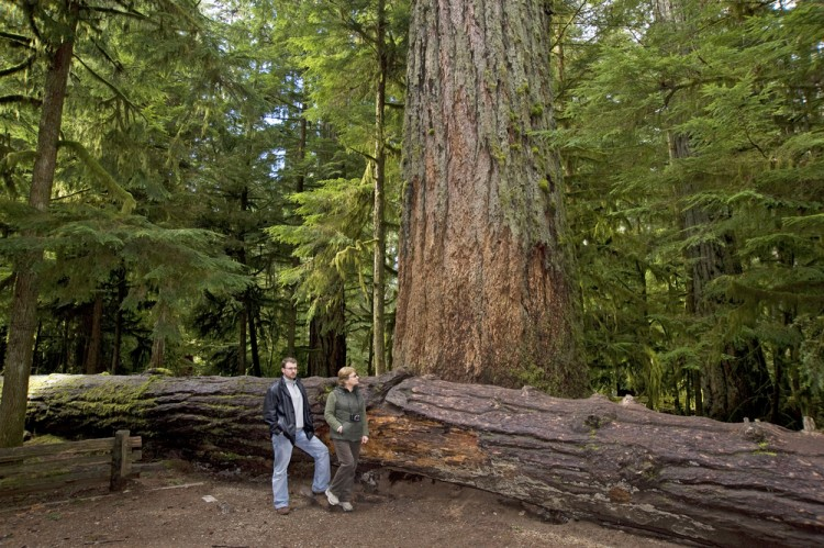 11 Biggest Trees in the World by Volume