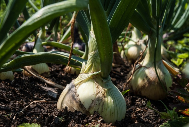 11 Easiest Cash Crops To Grow